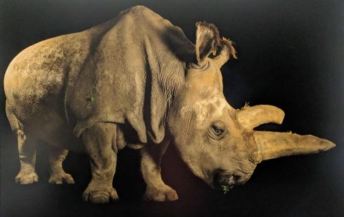 Northern White Rhinoceros - Photo credit Joel Sartore