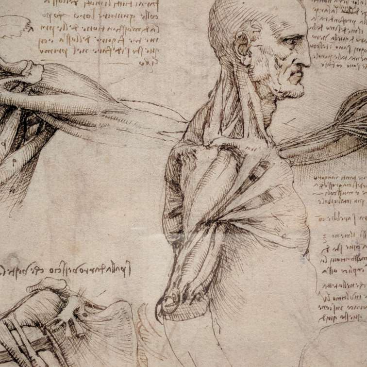 The superficial anatomy of the shoulder and neck by Leonardo da Vinci. About 1510-11.